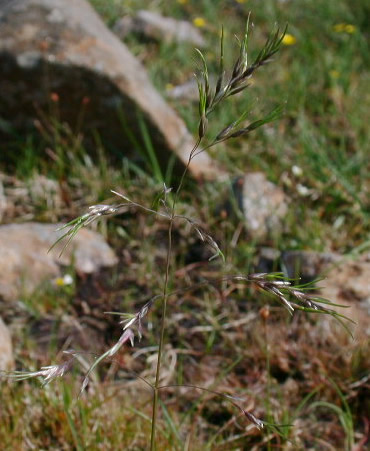 Deschampsia alpina