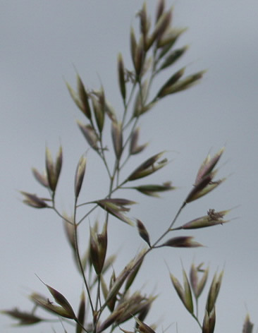 Deschampsia setacea